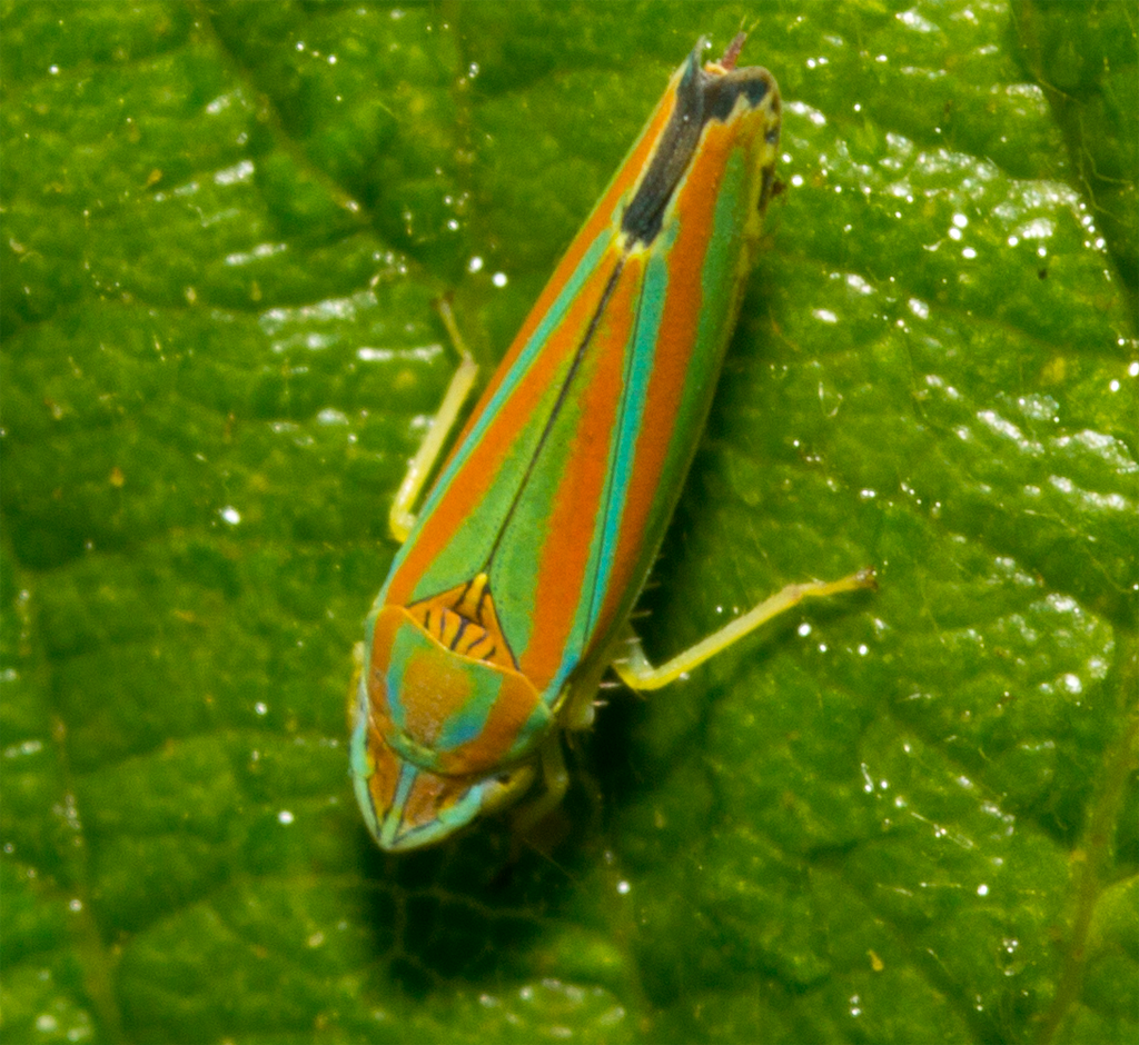Candystripe Leafhopper 105