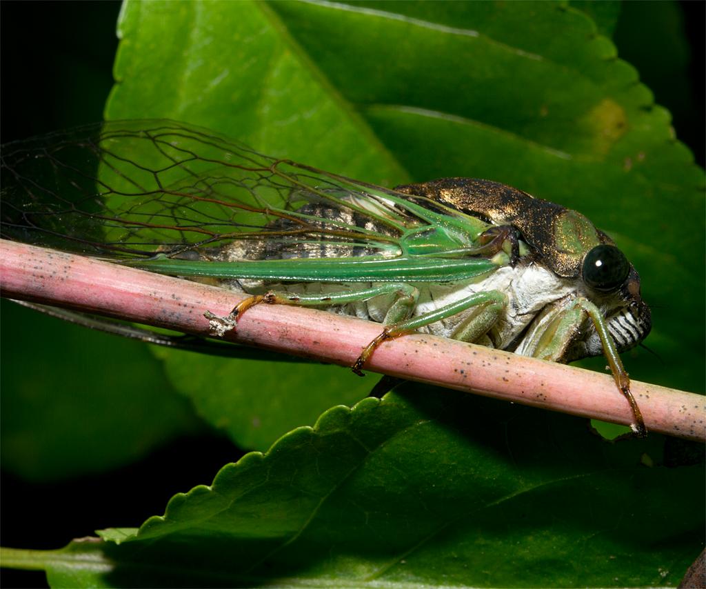 Cicada 108