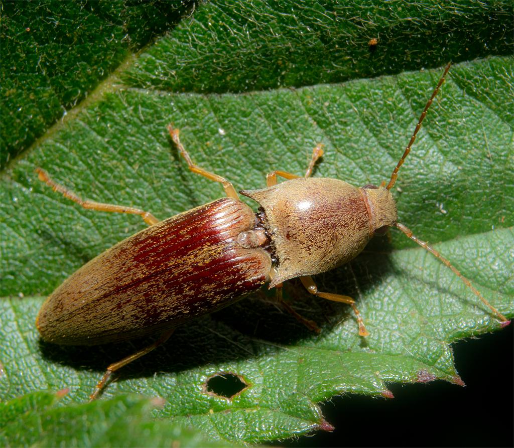 Click Beetle 5