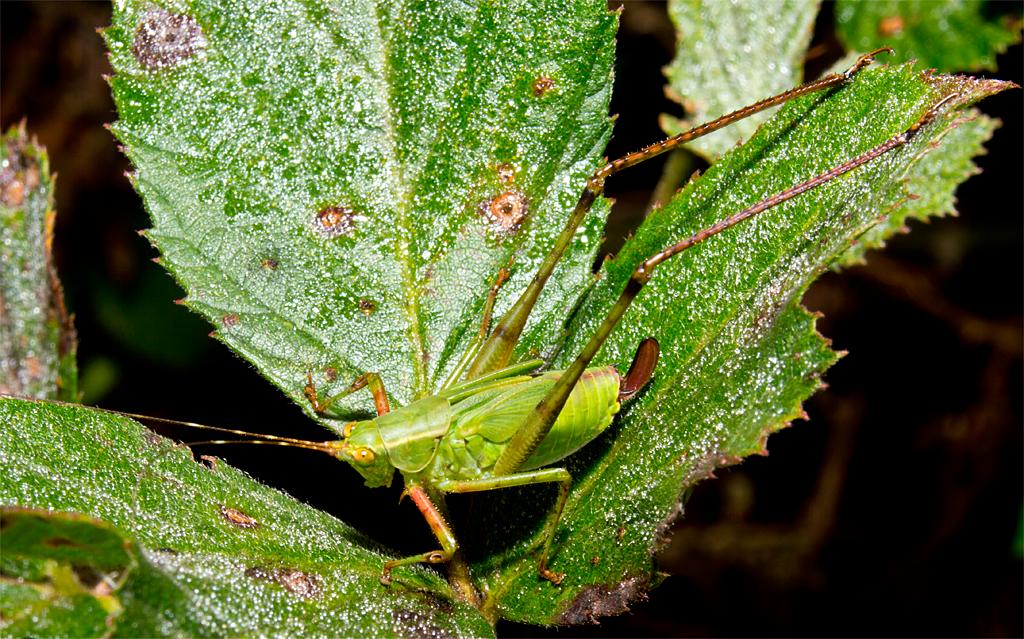 Grasshopper 67