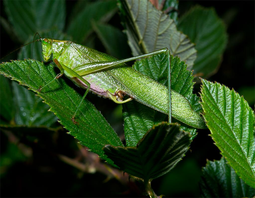 Katydid 5