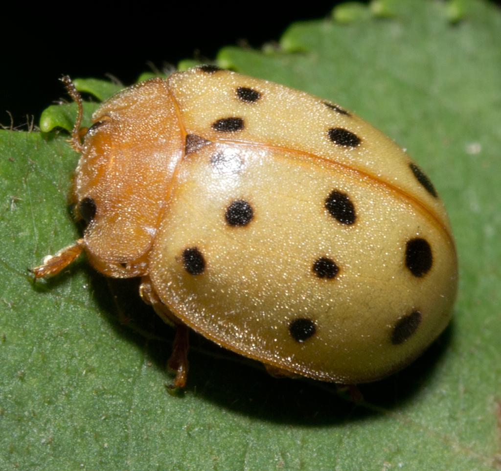 Ladybug 40