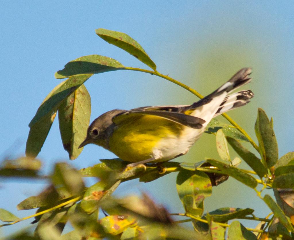 Magnolia Warbler 112