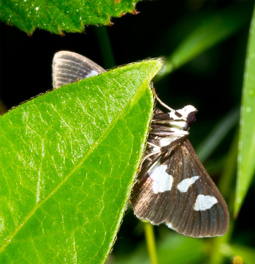 Moth 95