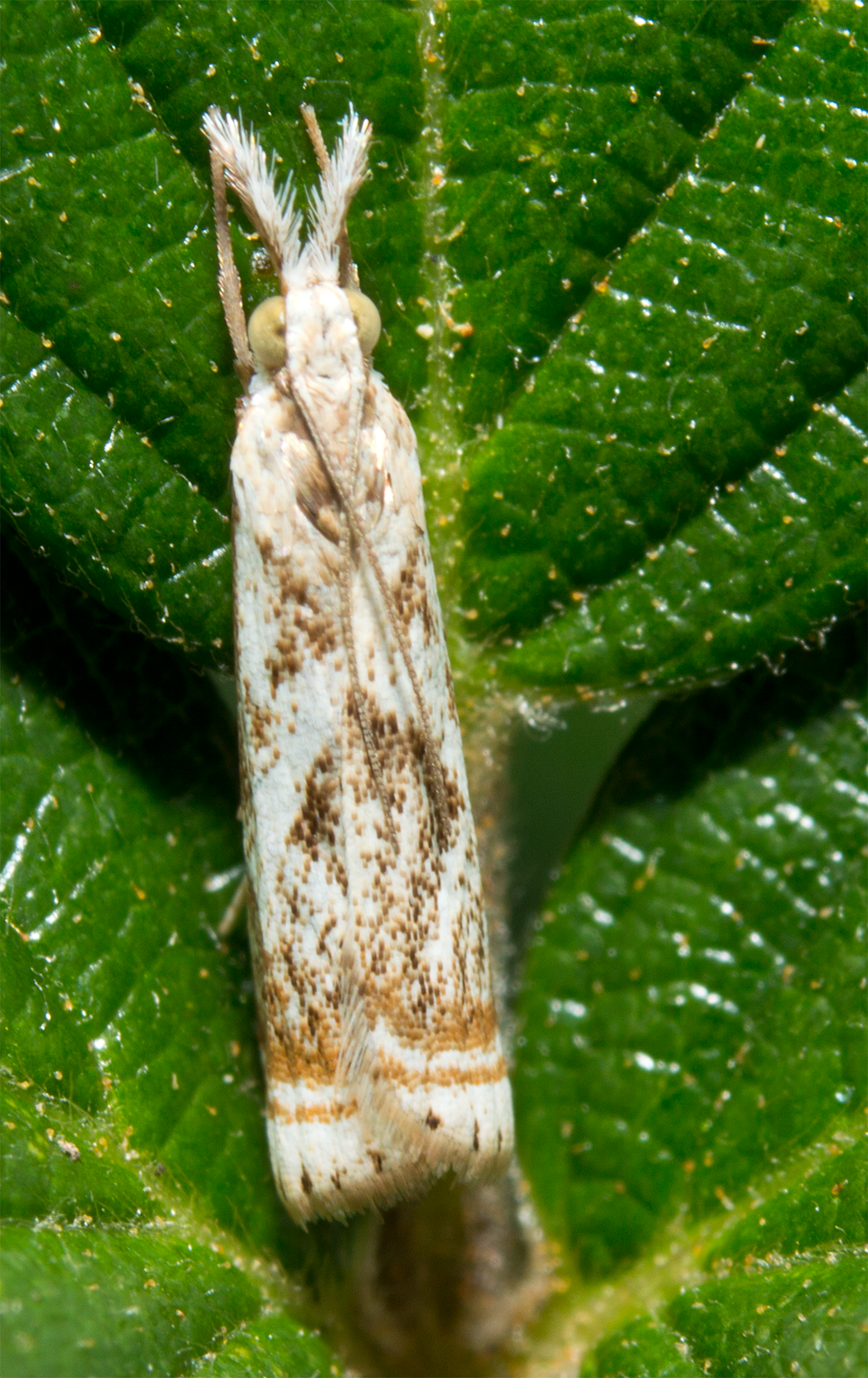 Moth 96