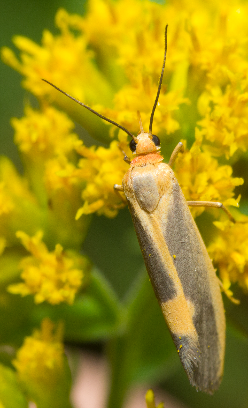 Moth 99