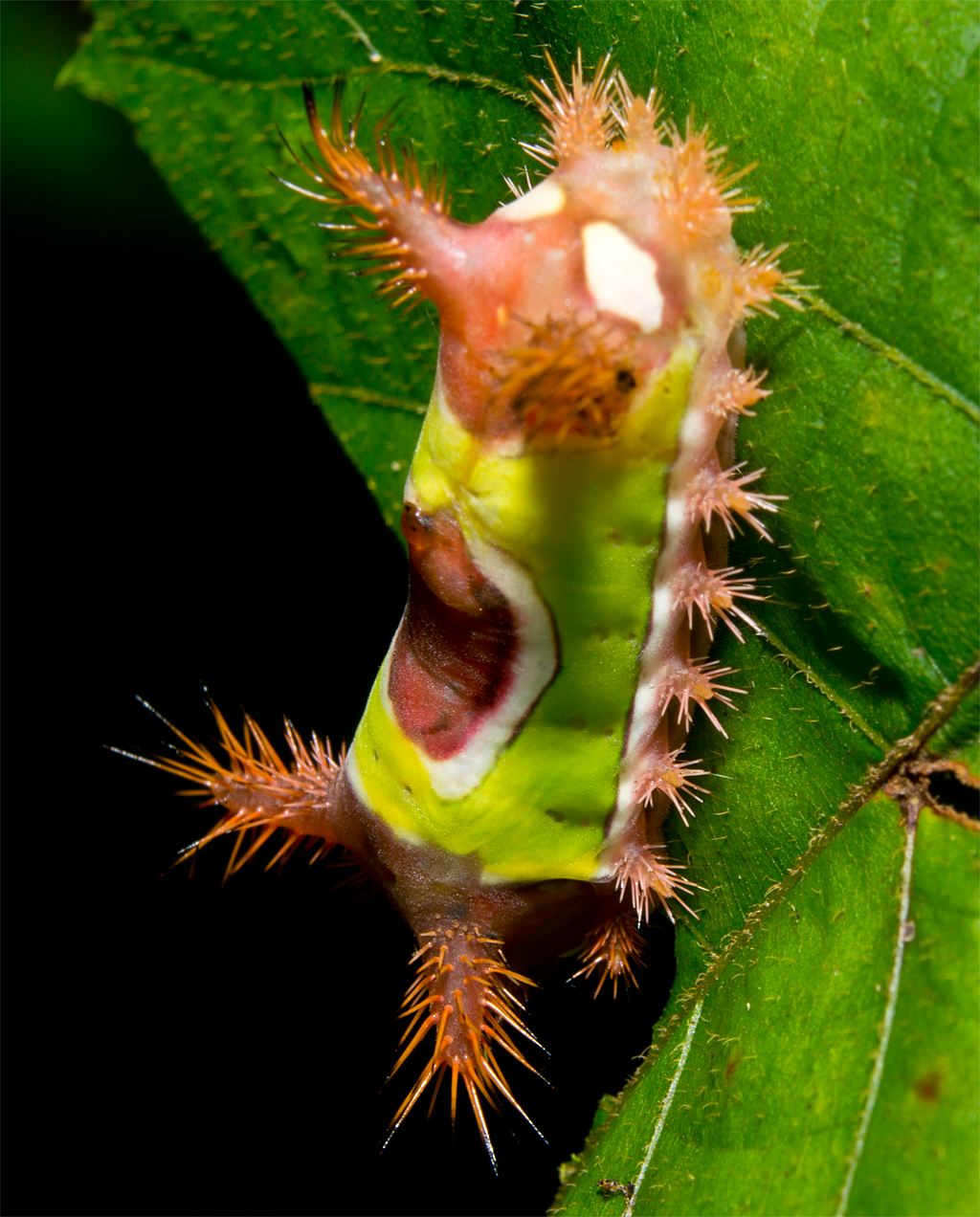Saddleback Caterpillar 101