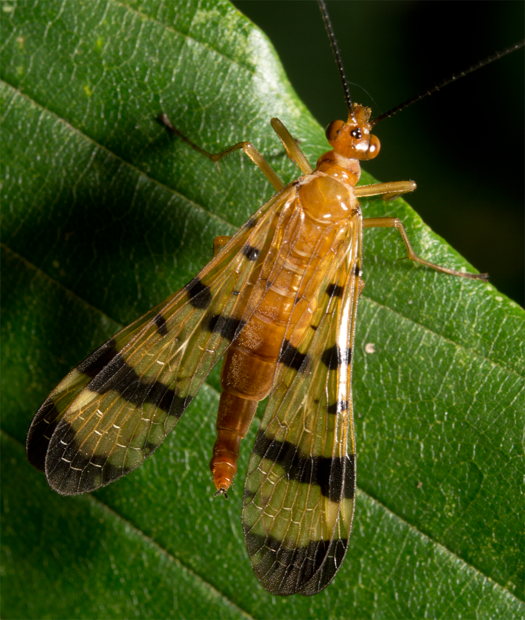 Scorpionfly 10