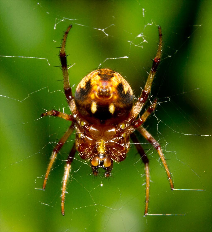 Spider 175