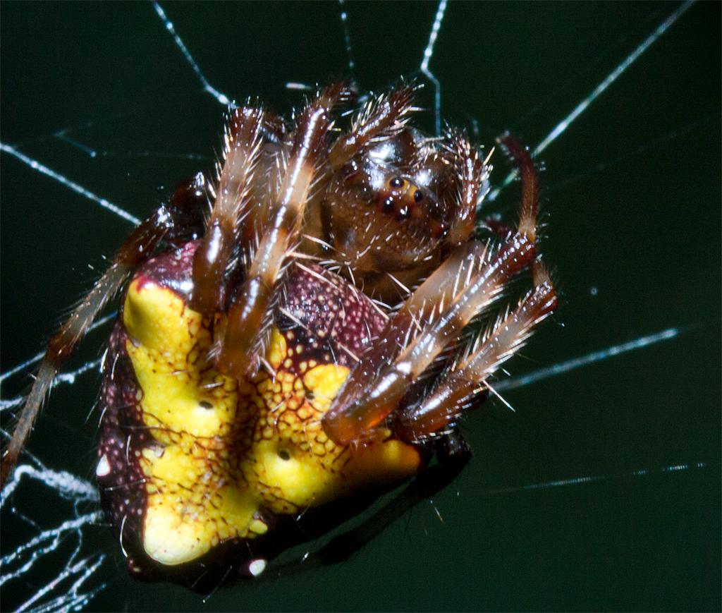 Spider 204