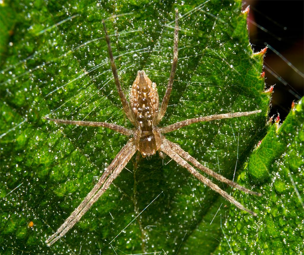Spider 213