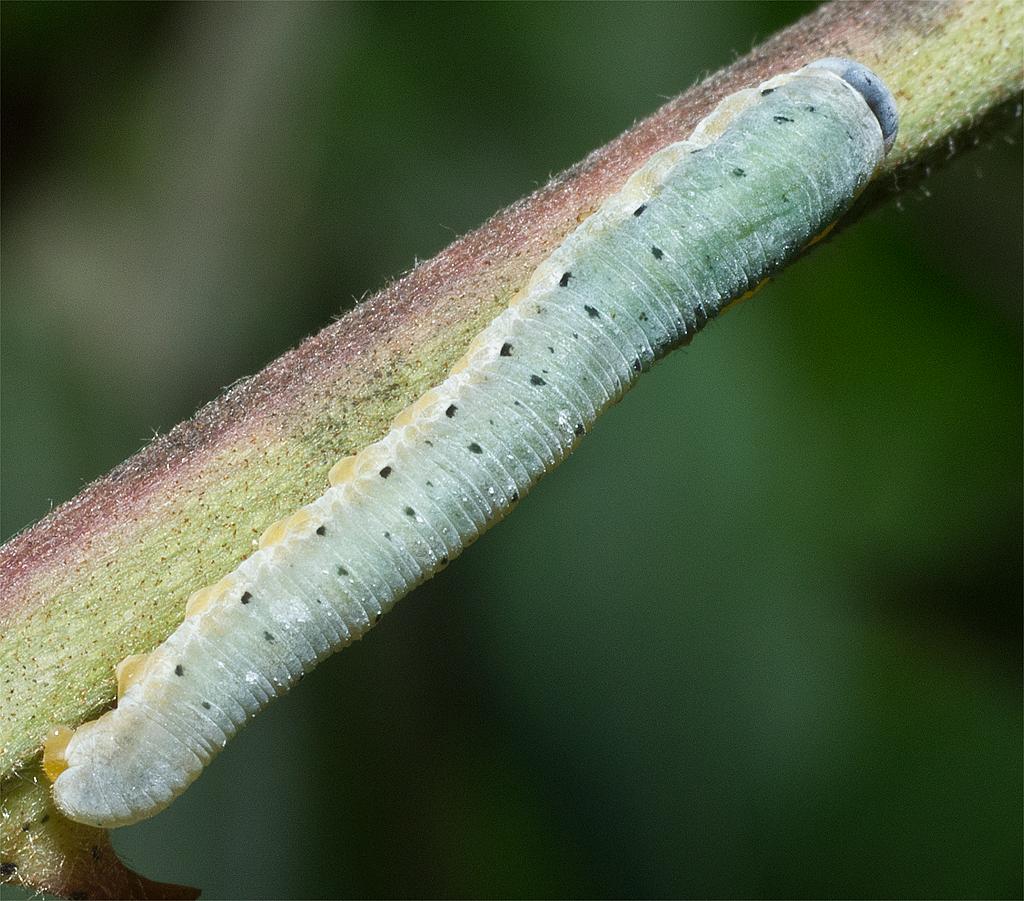 Caterpillar 204