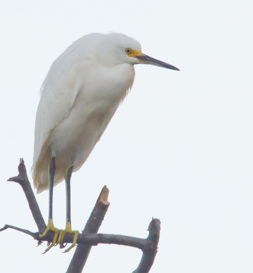 Snowy Egret 104