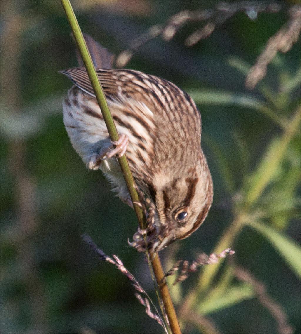 Song Sparrow 92