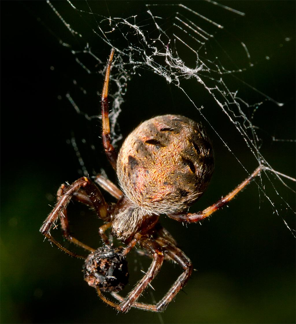 Spider 219