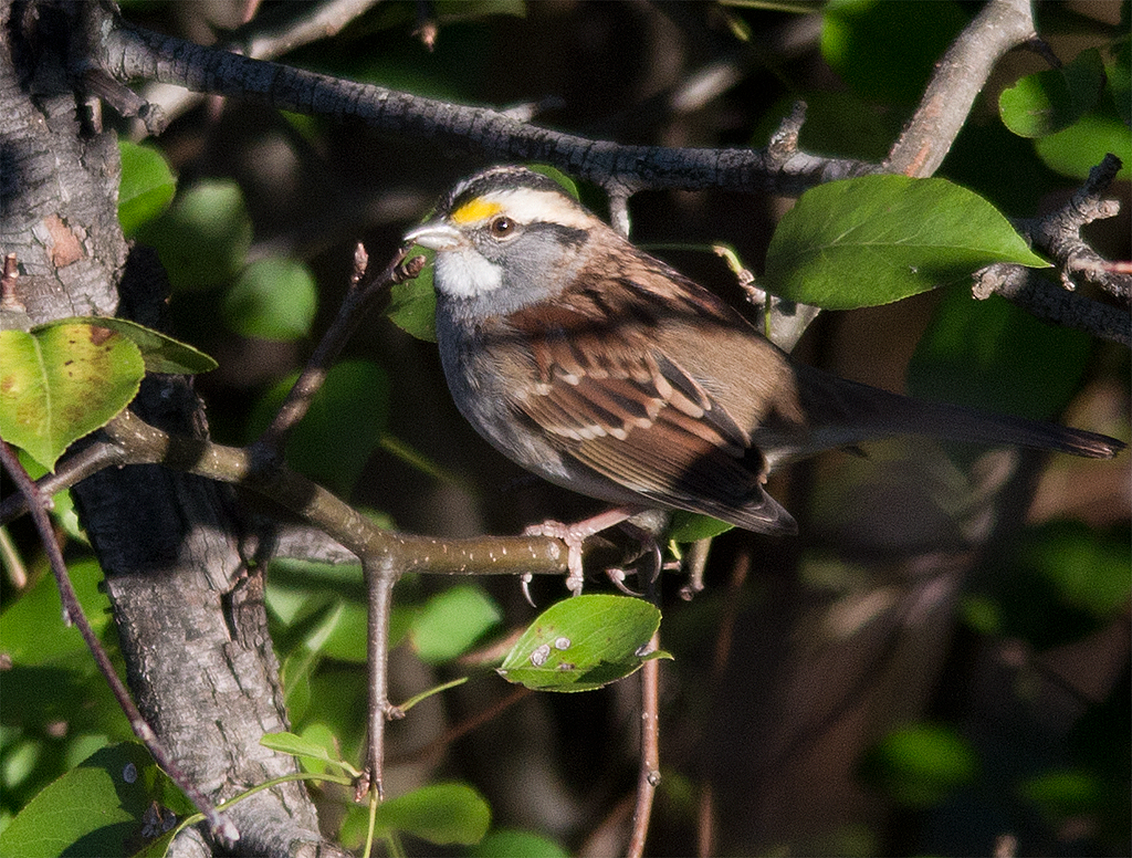 White Throated Sparrow 115