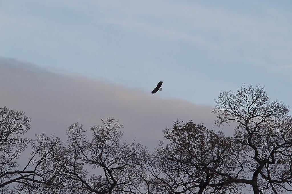 Bald Eagle 298