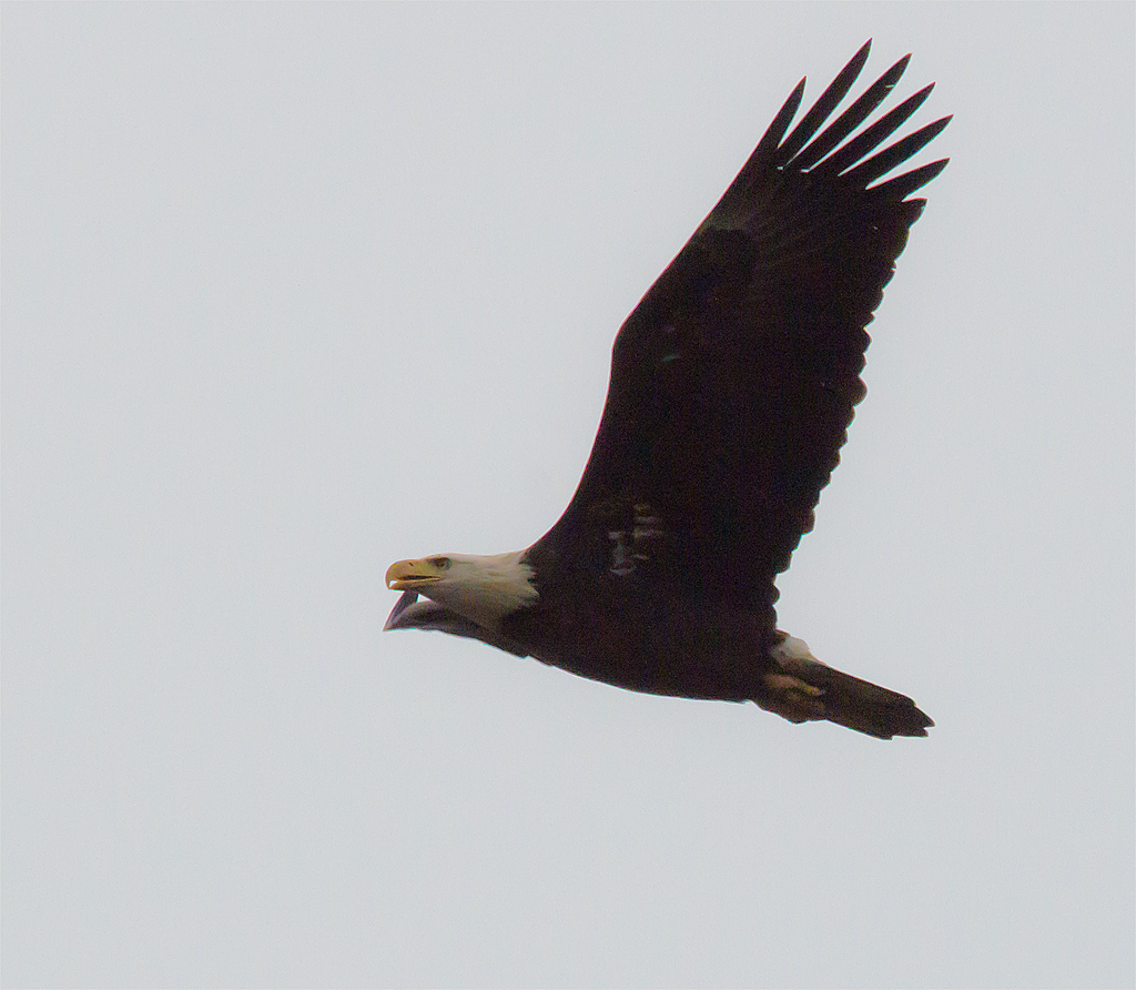 Bald Eagle 306