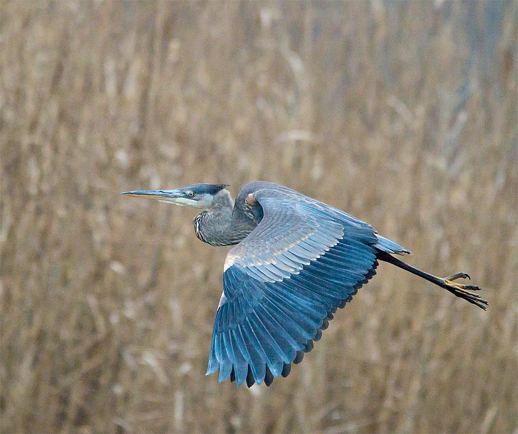 Great Blue Heron 231