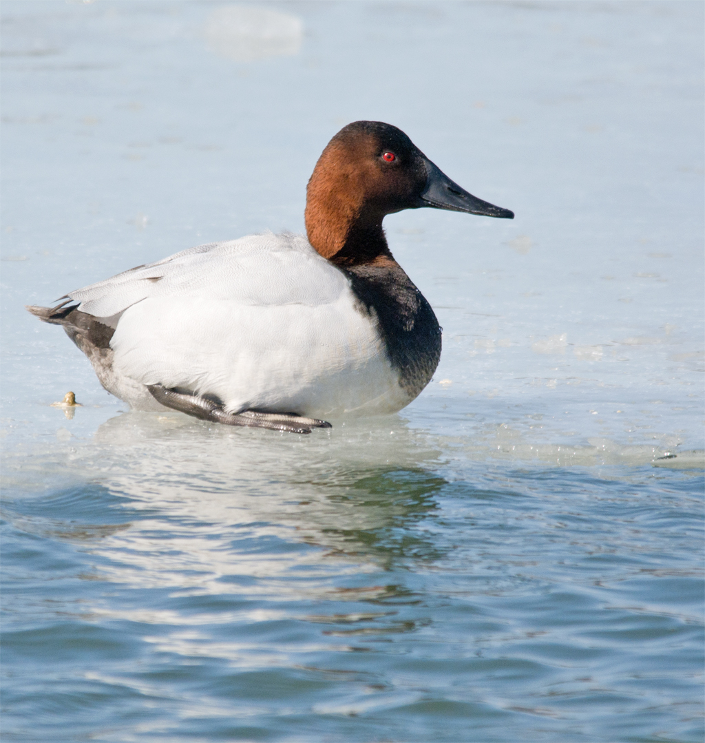 Canvasback 127