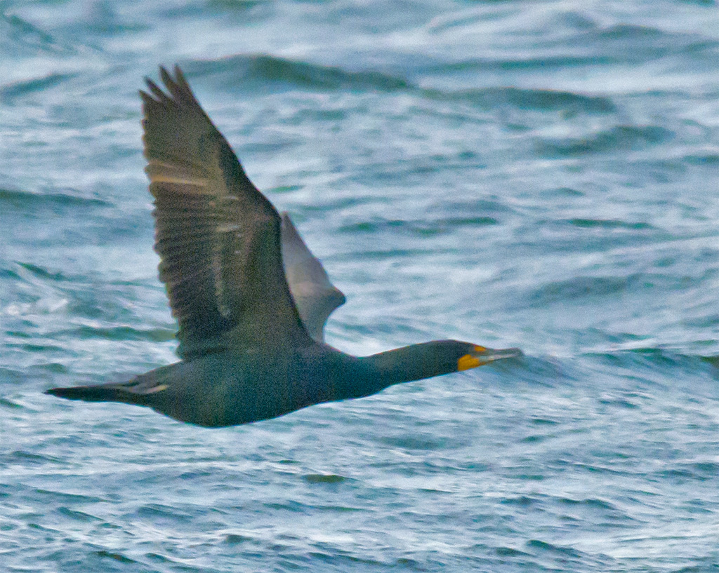 Double Crested Cormorant 90