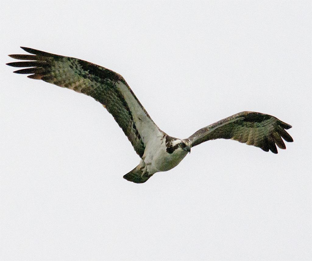 Osprey 276