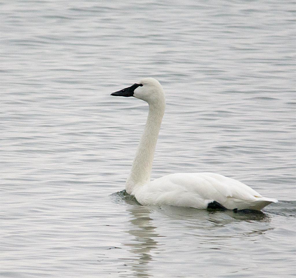 Tundra Swan 102
