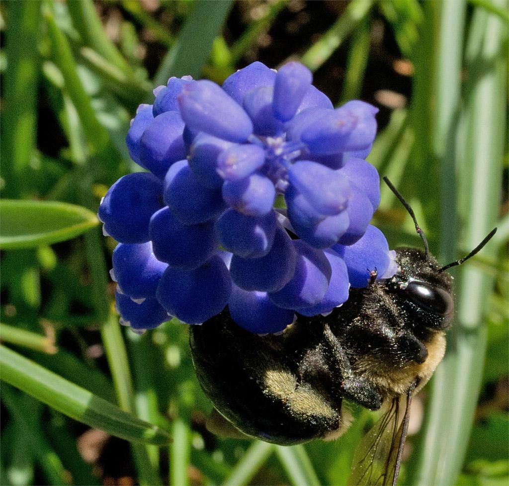 Bee 66