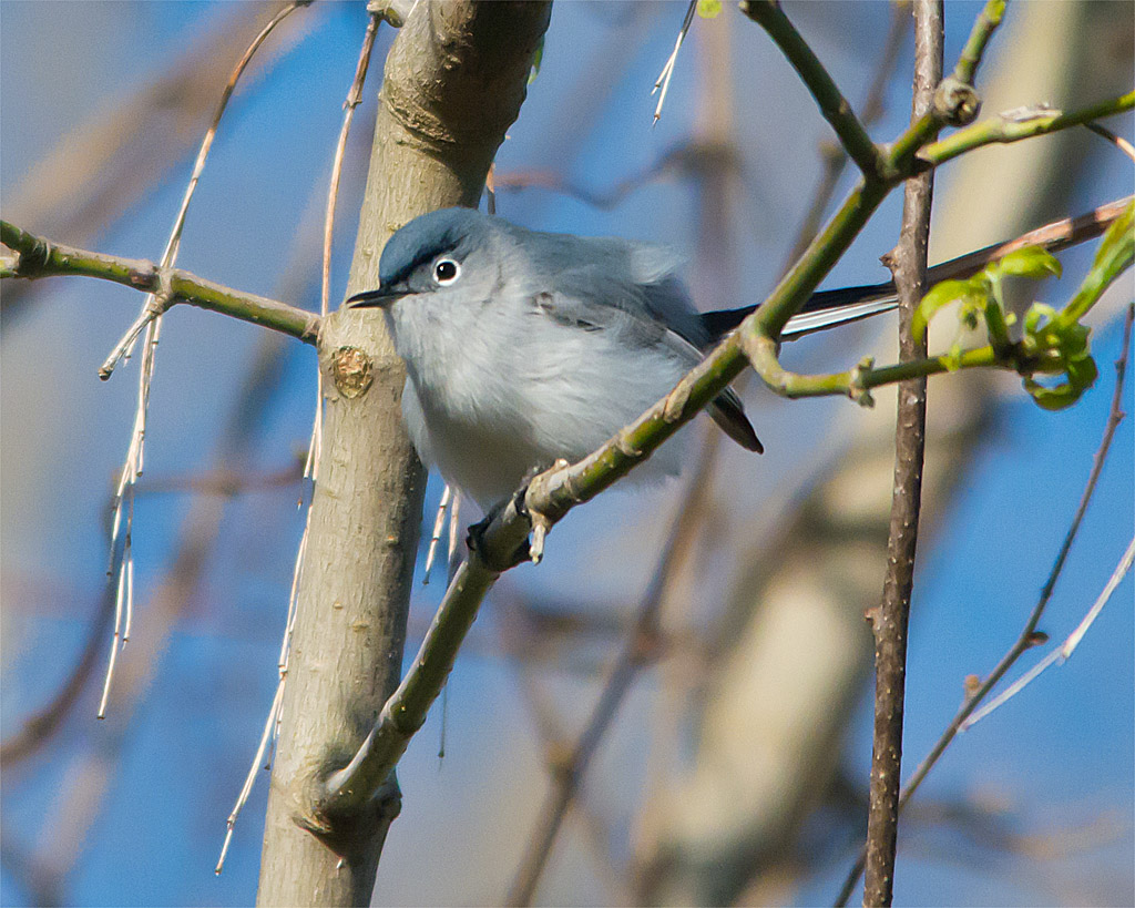 Blue Gray Gnatcatcher 20