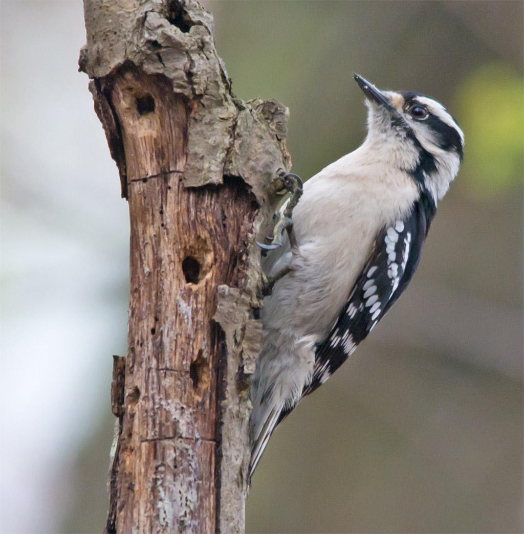 Downy Woodpecker 025