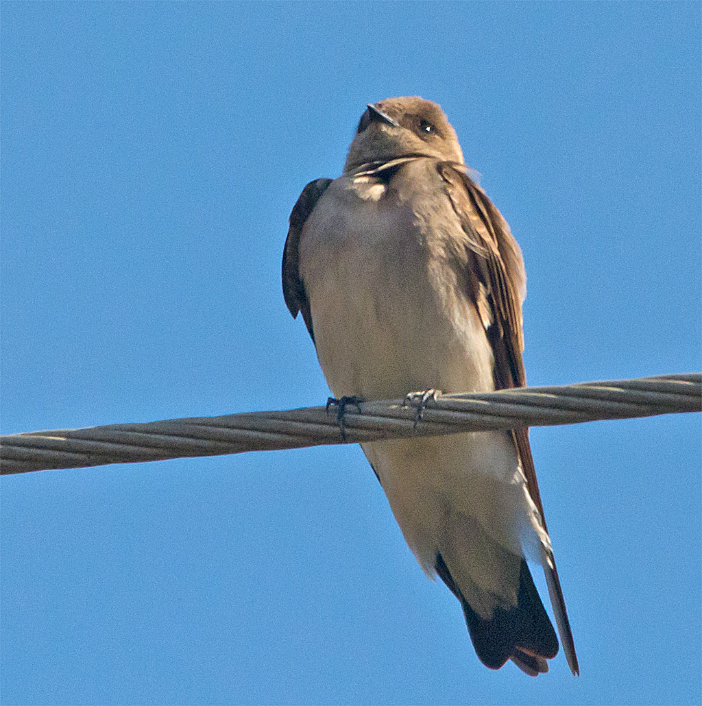 Northern Rough Winged Swallow 100