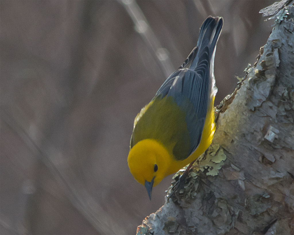 Prothonotary Warbler 102