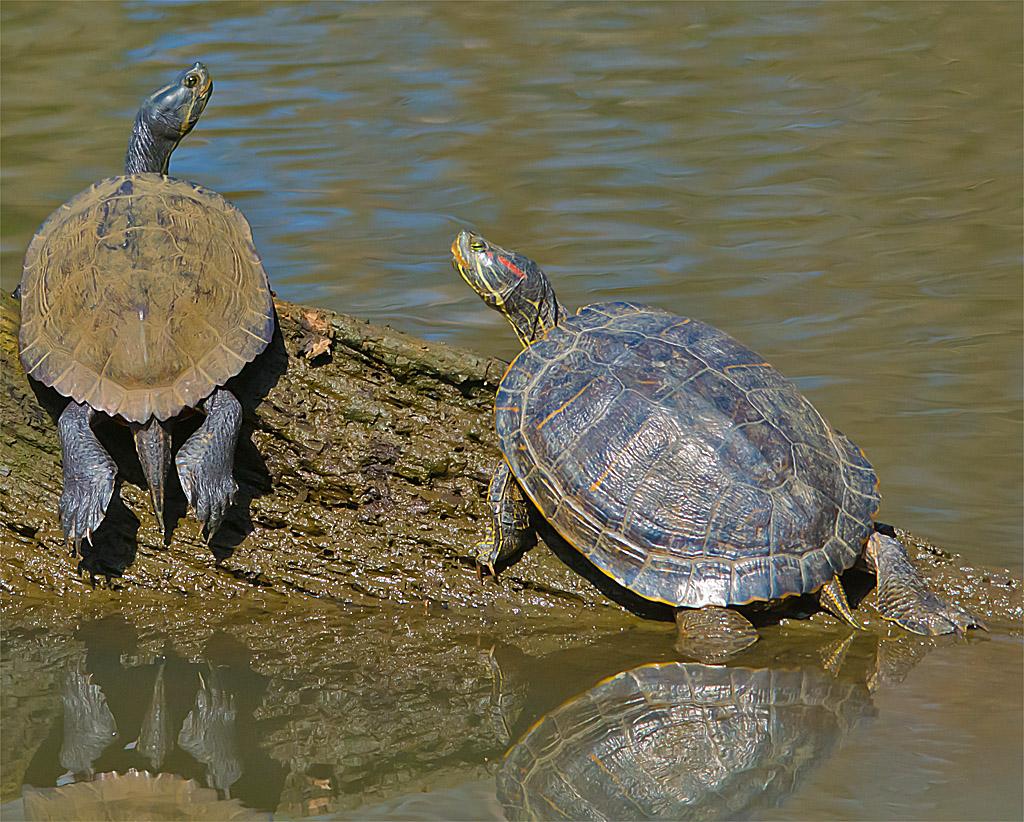 Turtle 27