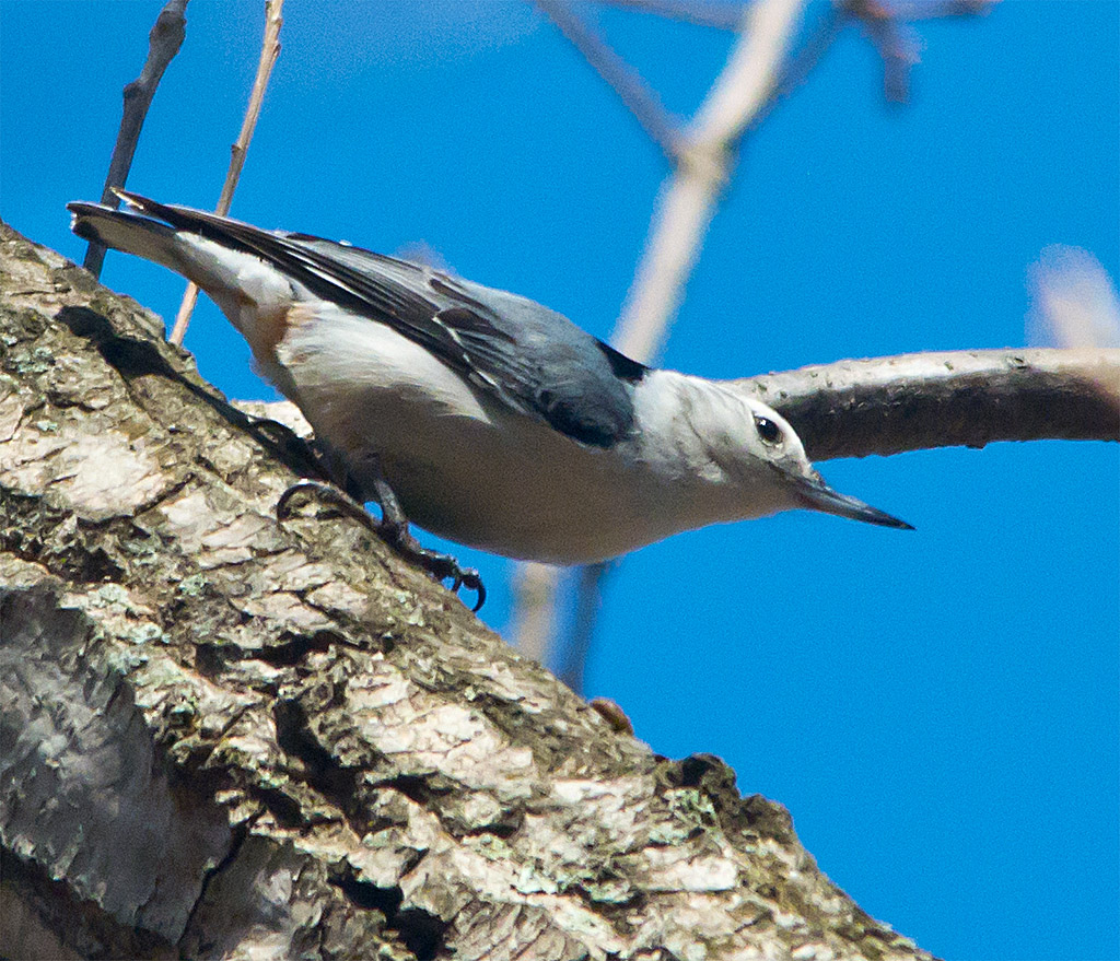 White Breasted Nuthatch 101