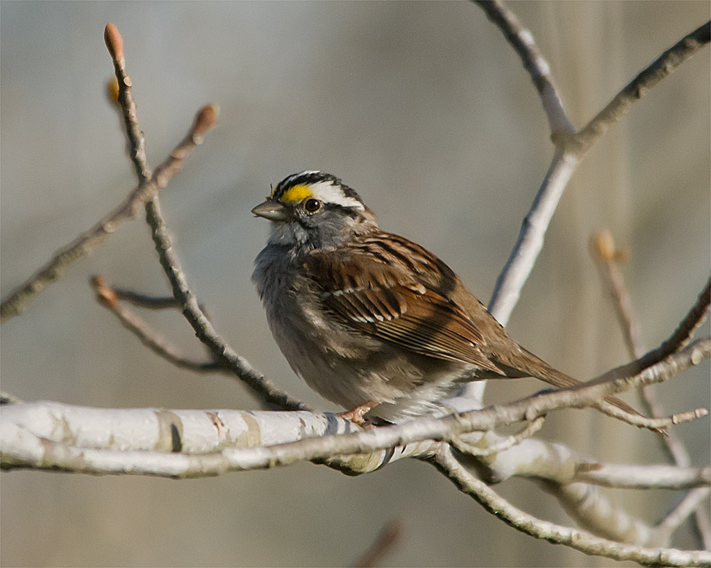 White Throated Sparrow 204
