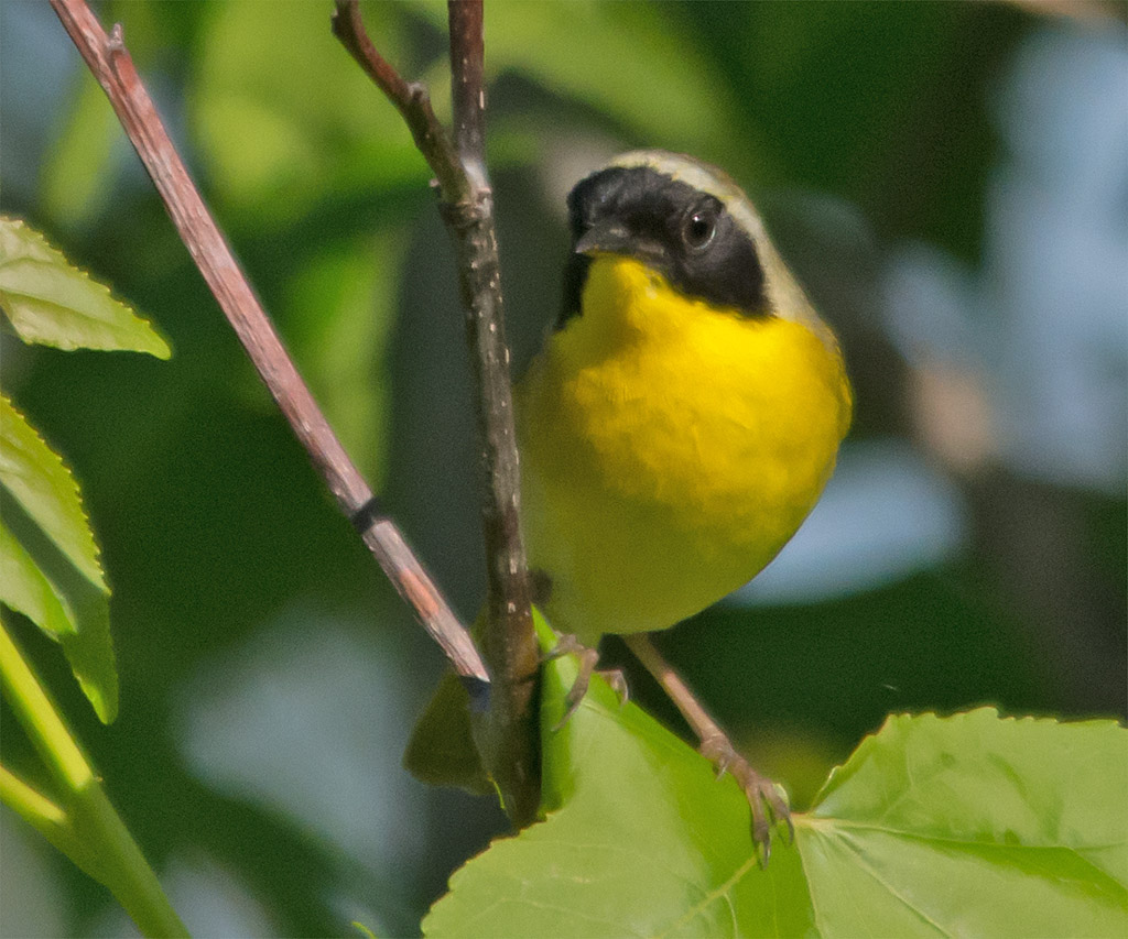 Common Yellowthroat 201