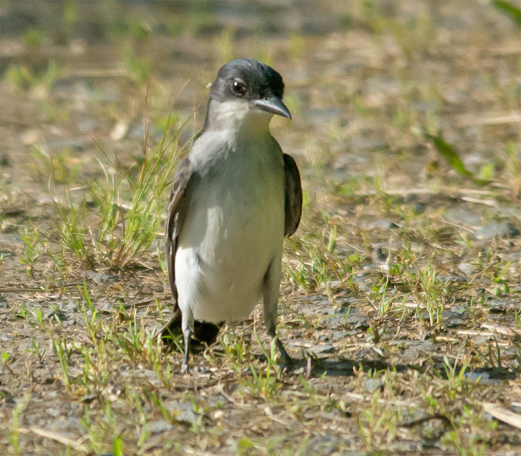 Eastern Kingbird 113