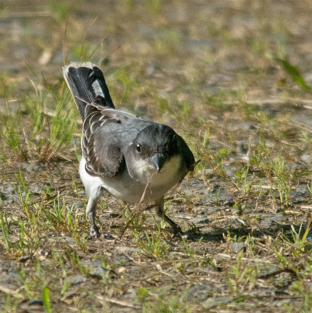 Eastern Kingbird 114