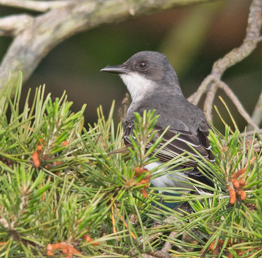 Eastern Kingbird 119