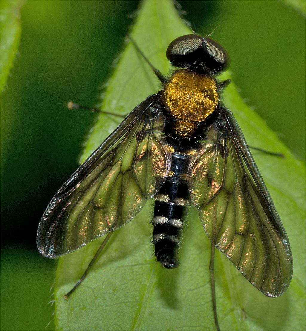 Golden Backed Snipe Fly 3