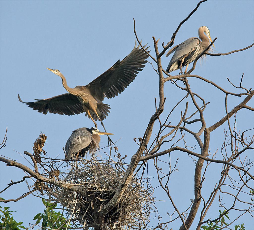 Great Blue Heron 313