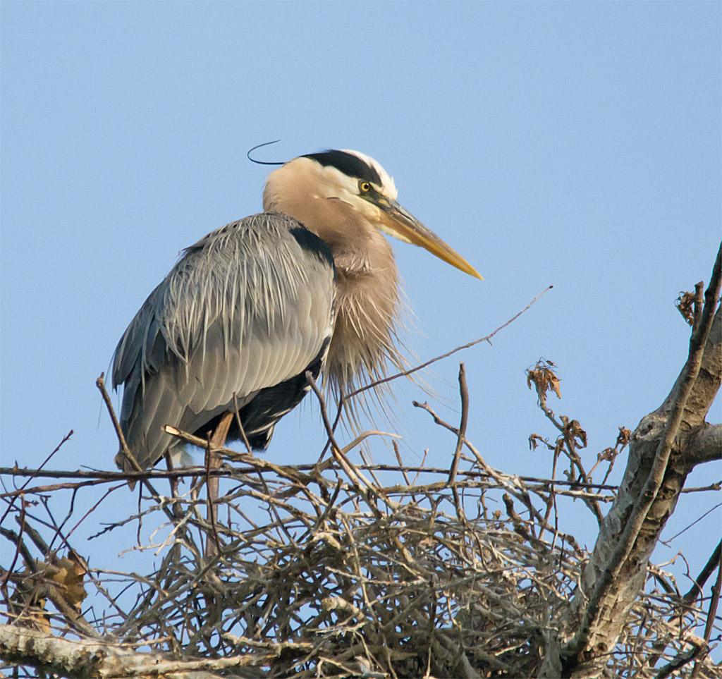Great Blue Heron 314