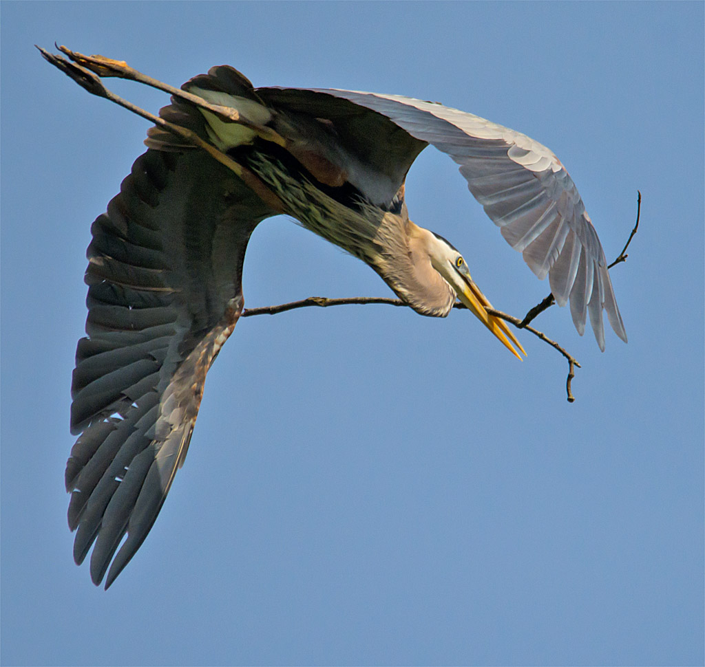 Great Blue Heron 316