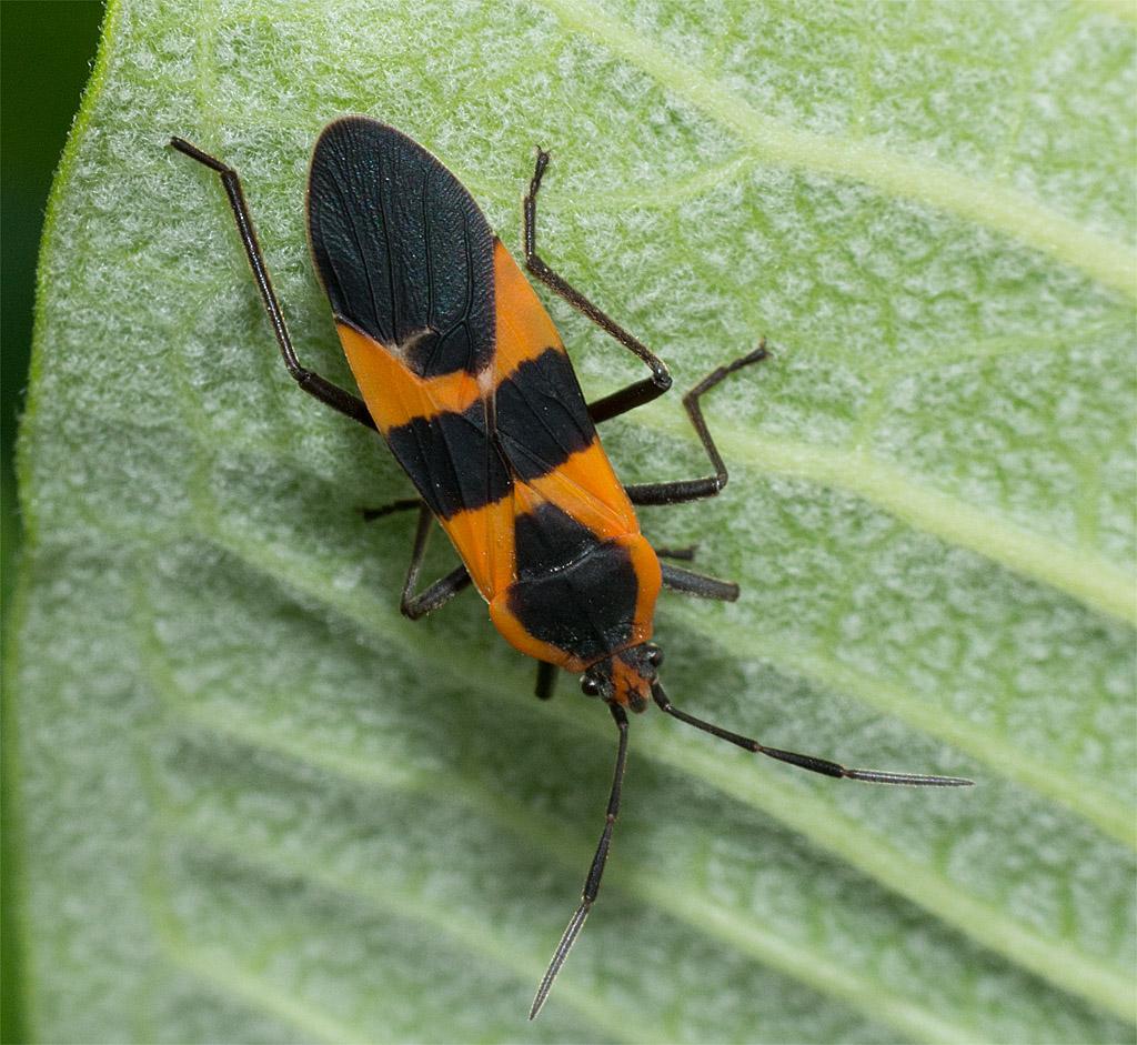 Milkweed Beetle 3