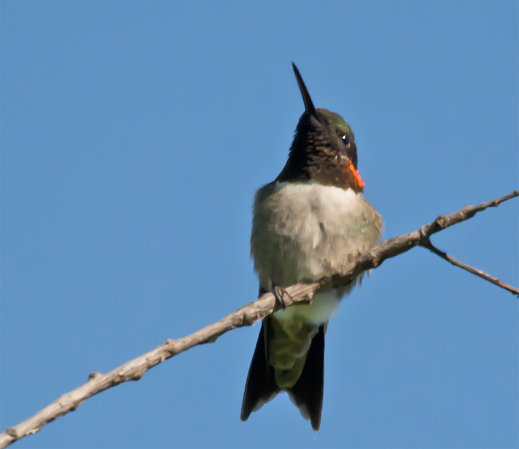 Ruby Throated Hummingbird 306