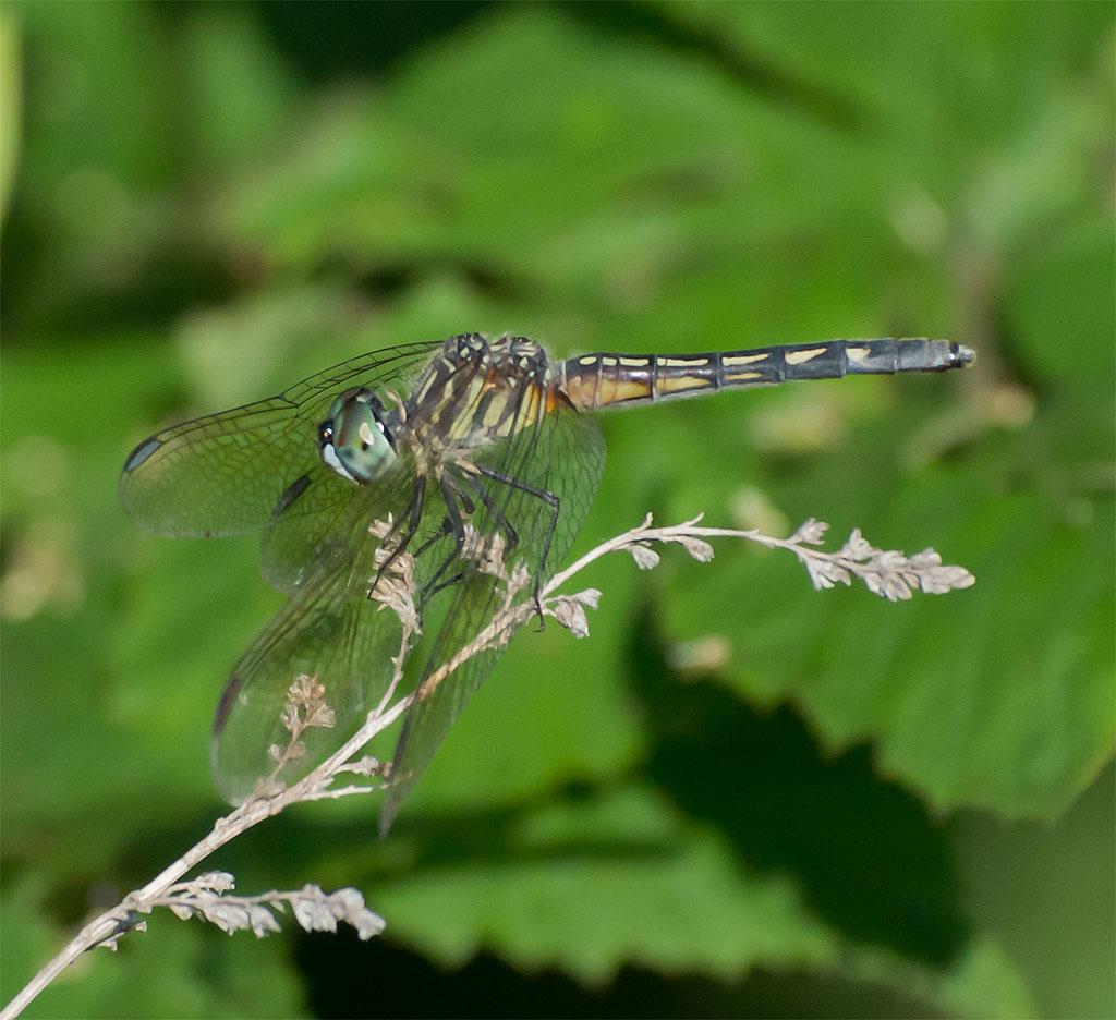 Dragonfly 57