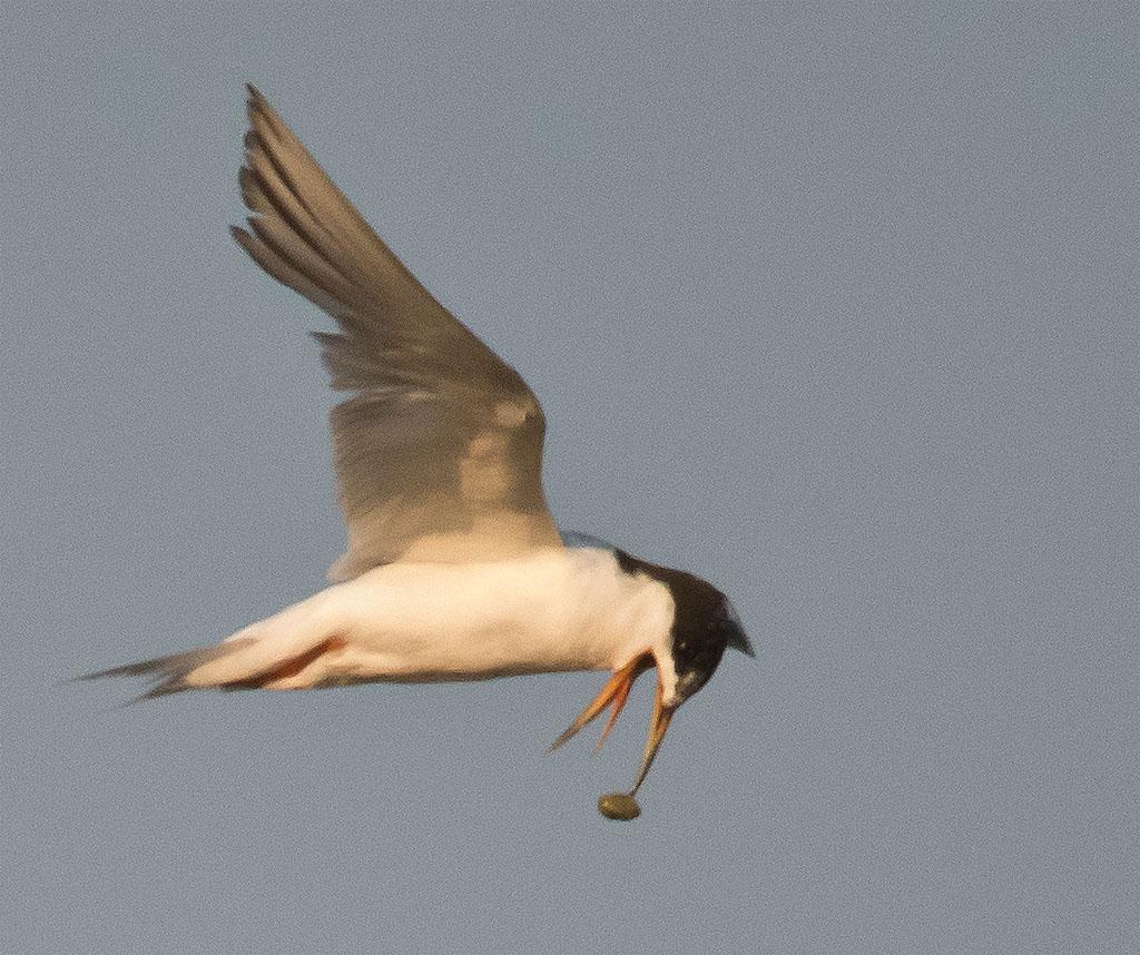Common Tern 134