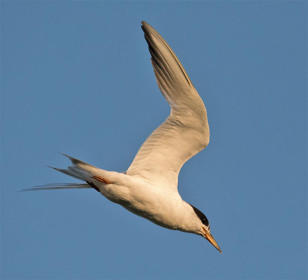 Common Tern 135