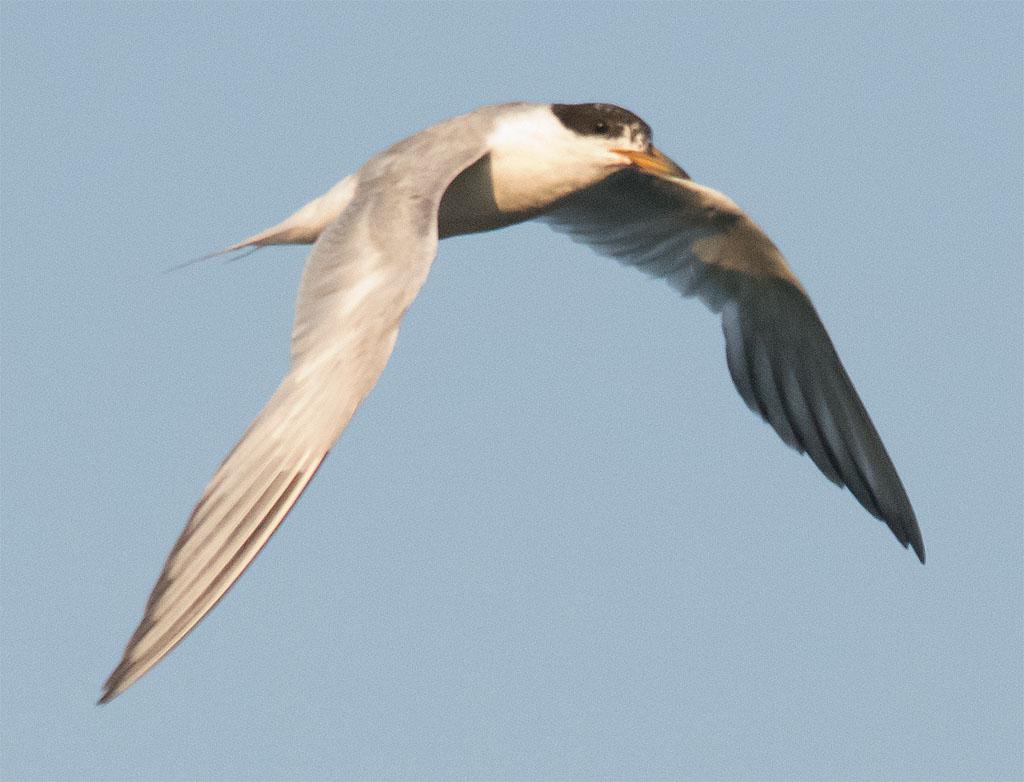 Common Tern 138