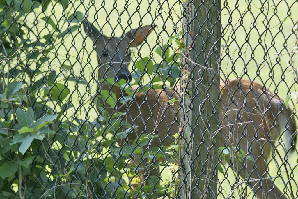 Deer-54